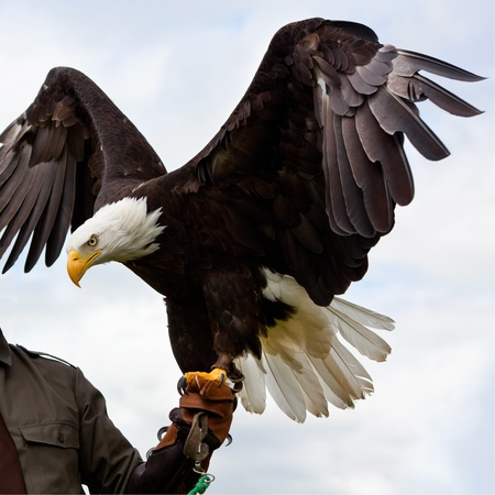 eagle feather: Bald Headed Eagle, sitting at mans hand
