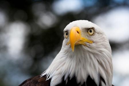 Calvo águila, plano con fondo borroso