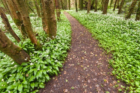 Spring forest with white wild flowers. Ireland photo