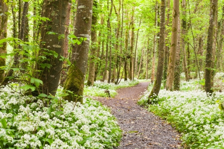 wilderness area: Oramnore Woods with wild garlic flowers blossoming  Galway, Ireland  Stock Photo