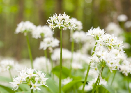 Wild garlic flowers blossoming in Oranmore Woods, close up  Galway, Ireland photo