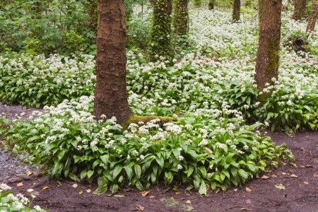 Oramnore Woods with wild garlic flowers blossoming  Galway, Ireland  photo