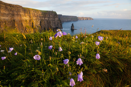 moher: Cliffs Of Moher with Harebell, wild irish bell-shaped  flowers. Stock Photo