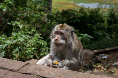especially: The crab-eating macaque monkeys of Indoenisia harras torrists for food.  They especially enjoy the Lichi fruits.