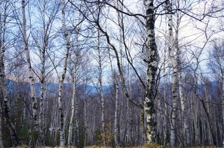 bomen zwart wit: Zwart witte bomen zonder bladeren op een dsky
