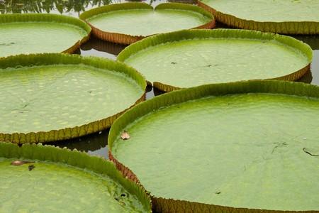 graden: large lillywaterlaef in the graden
