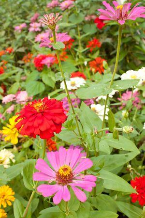 Zinnia flowers in the garden