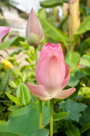 A blooming lotus flower with yellow seed head