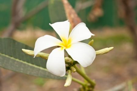 frangipani  plumeria  flowers on a tree Stock Photo