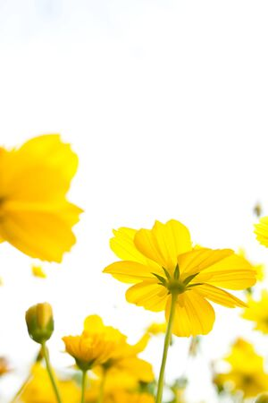 Wild yellow flowers Stock Photo