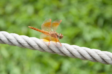 Dragonfly in the white rope  photo
