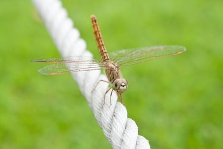 Dragonfly in the white rope