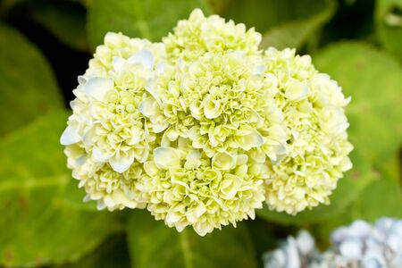 soft blue and green flowers hydrangea photo