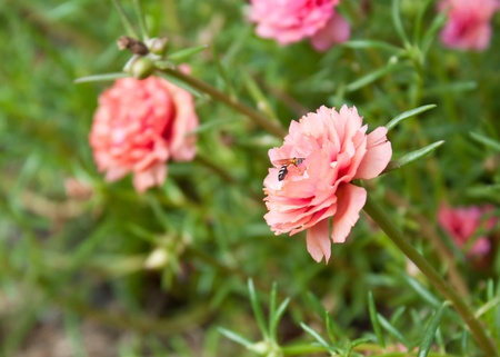 pink portulaca flower in the garden Stock Photo