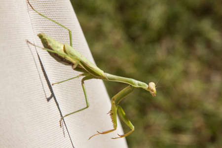 mantodea: praying mantis on canvas cover