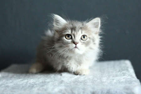 Small scottish straight-eared kitten with long hair and large mustaches