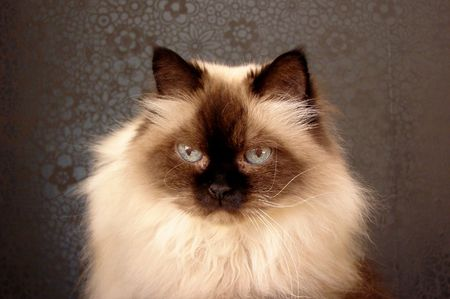 Persian colorpoint cat