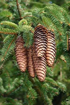 Cones in a pinetree            Standard-Bild