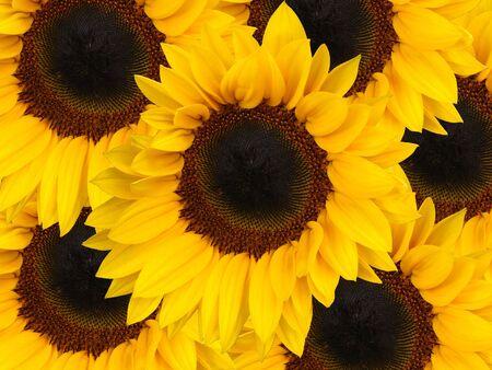 sunflowerseed:                                Sunflower, background