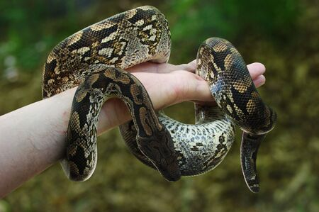 Constrictor Stock Photo