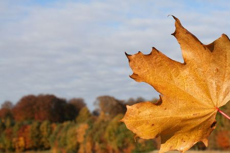 Maple leave in the fall
