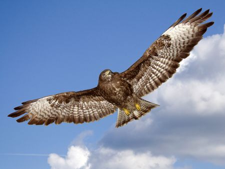 buzzard:                                buzzard flying in the sky Stock Photo