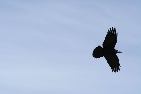 flying black rook photo