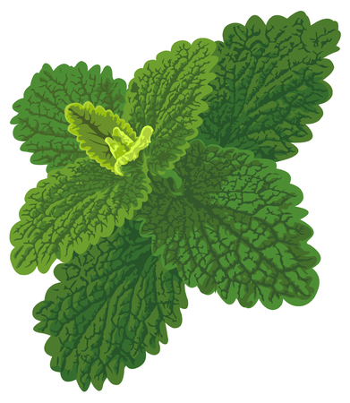 Vector art with nettle looks like melissa or mint