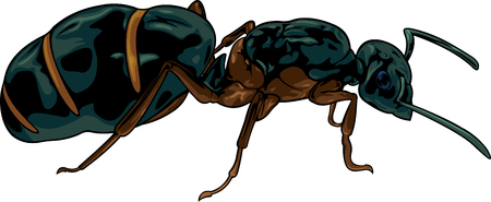 Vector cartoon black queen ant on white background
