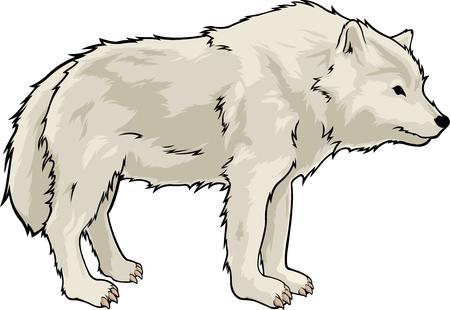 Het beeldverhaal isoleerde mooie witte wolf op witte achtergrond