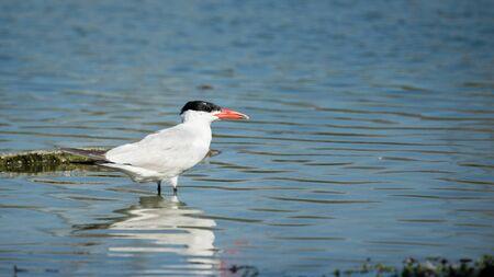 caspian: Caspian Tern Standing in a Lake