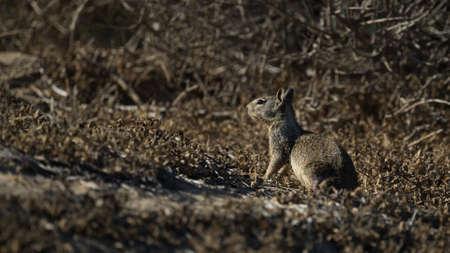 California Ground Squirrel Resting on Haunches
