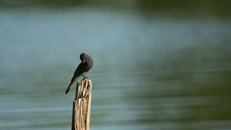 perched: Black Phoebe Bird Perched on Wooden Plank