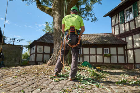 Tree climbers cut out a linden tree, gardener, tree care,
