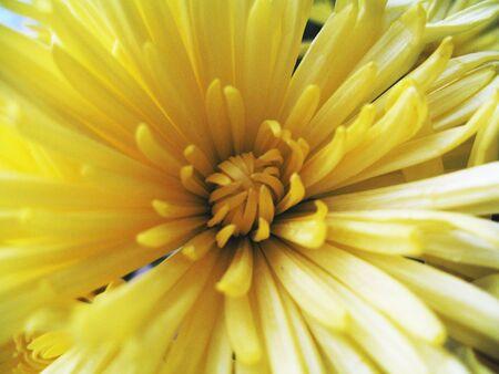 a yellow chrysanthemum