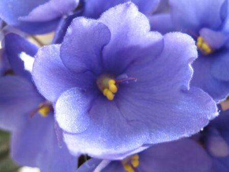 blue violets (Africano violets)