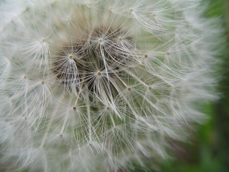 Dandelion, ripe though still full.