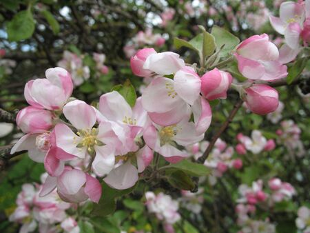Pretty white, rose and green mixture in blossoming spring fruit-garden