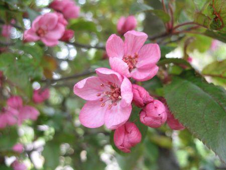 Ephemeral but still so dainty cherry flowers