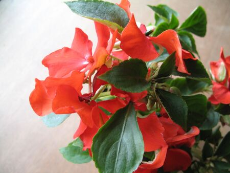 Graceful blend of red flowers and dark green leaves