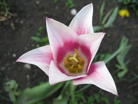 Exquisite white and pink star-shaped tulip Stock Photo