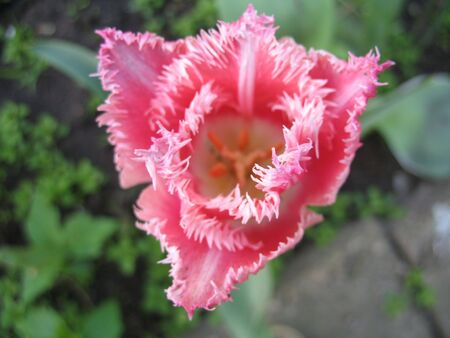 Triangle-shaped exquisite rose tulip, seen from the above Stock Photo