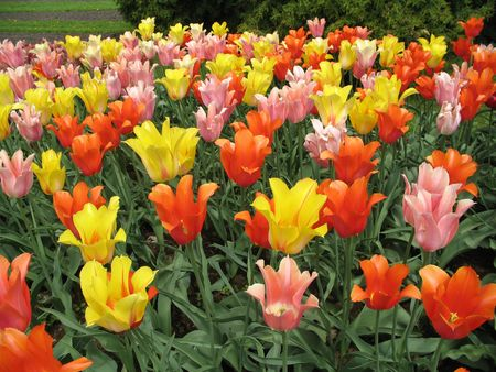 Coulourful fireld of polychromatic tulips.