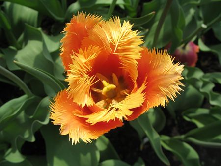 Orange-white sunny tulip with terry petals