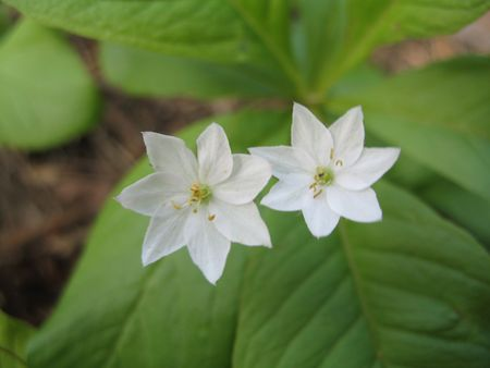 Couple forest stars of chickweed wintergreen between the leaves