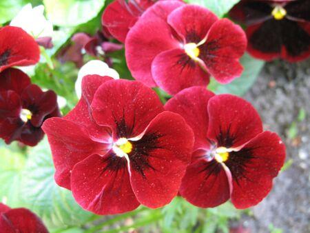 Three cute symmetric red violets Stock Photo