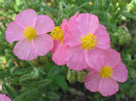 Several pretty big pink flowers on a shrub. Stock Photo