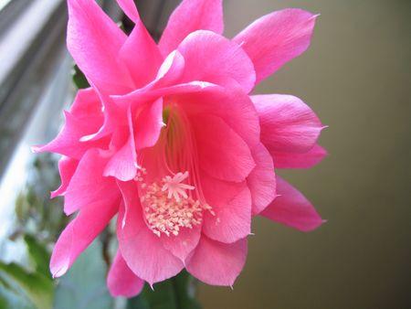 a cactus flower Stock Photo