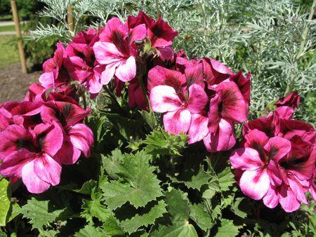 a geramium flower-bed Stock Photo