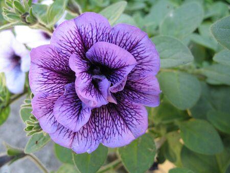 a violet petunia